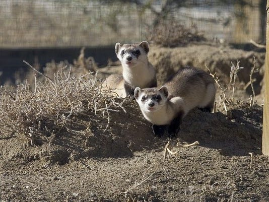 Two black-footed ferrets stand on a dirt mound. Photo Credit: Ryan Hagerty, U.S. Fish and Wildlife Service